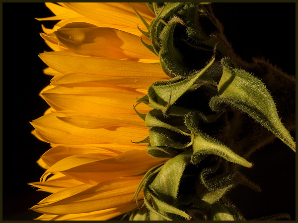 sunflower-sideways.jpg
