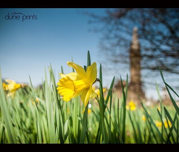 Scarisbrick Hall Daffodils